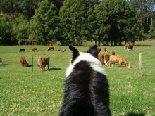 Watching the cattle graze is a relaxing pastime for all at Malibells Country Cottages.